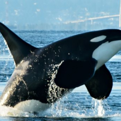 Bigg's Killer Whales near Whidbey Island