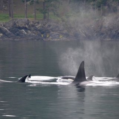 Orcas near Cypress Island