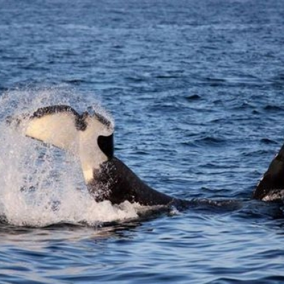 Transient Orca Hunting