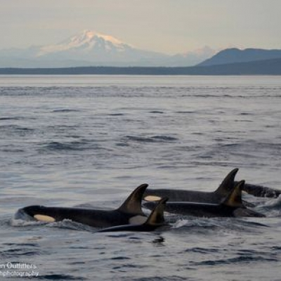 Bigg's Killer Whales at Sunset