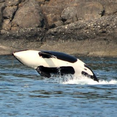 Bigg's Killer Whales Play in the Rosario Strait!