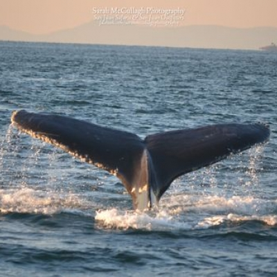 Humpback Whale Swims Salish Sea