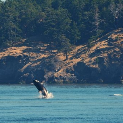 Killer Whale Breaches in Salish Sea