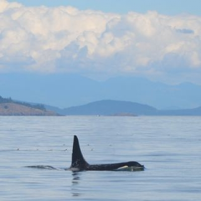 Killer Whales Near Waldron Island