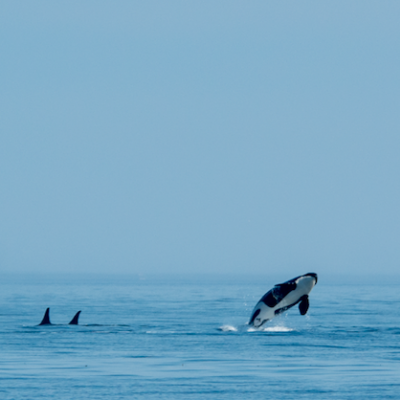 Breaching Southern Resident killer whale