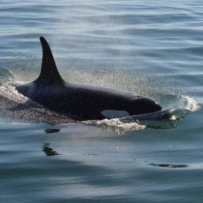SRKW Swim West Side of San Juan Island