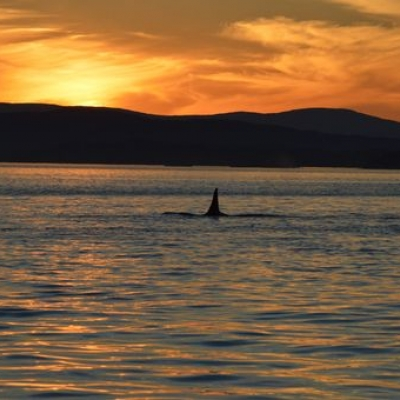 SRKW at Sunset