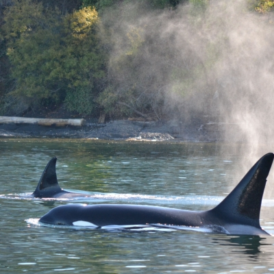 Bigg's Killer Whales Near Blakely Island