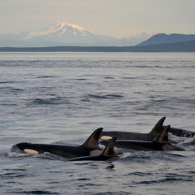 Transient Orcas traveling in the Salish Sea