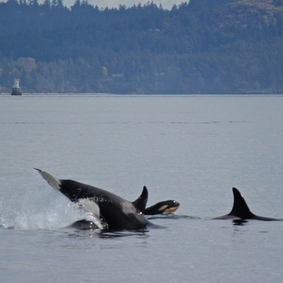 Bigg's Killer whales playing
