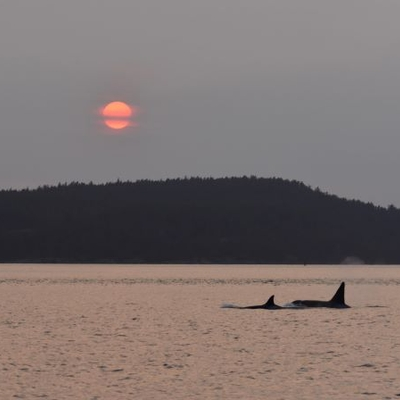 Bigg's killer whales and a fiery sunset