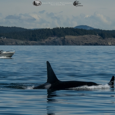 Killer Whales off County Park