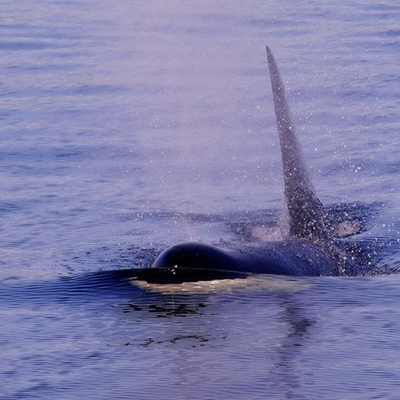 Transient Orcas traveling near Orcas Island