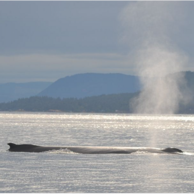 Humpback Whale surfacing for air