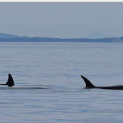 Transient Killer Whales near Vancouver