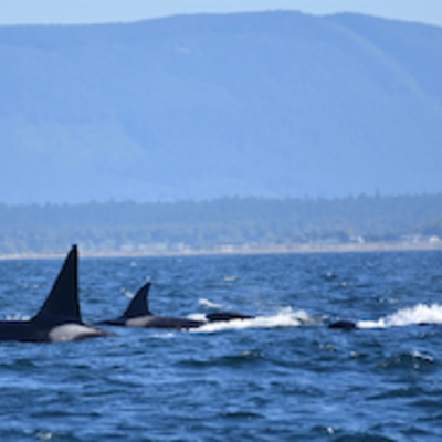T-Party of transient killer whales