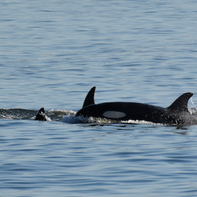 Orca calf traveling with family