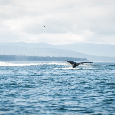 Humpback whale shows its fluke