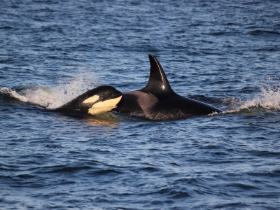 Baby orca whale travels with mom