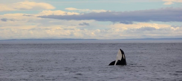 Southern Resident Orca Spy hop at sunset new San Juan Island