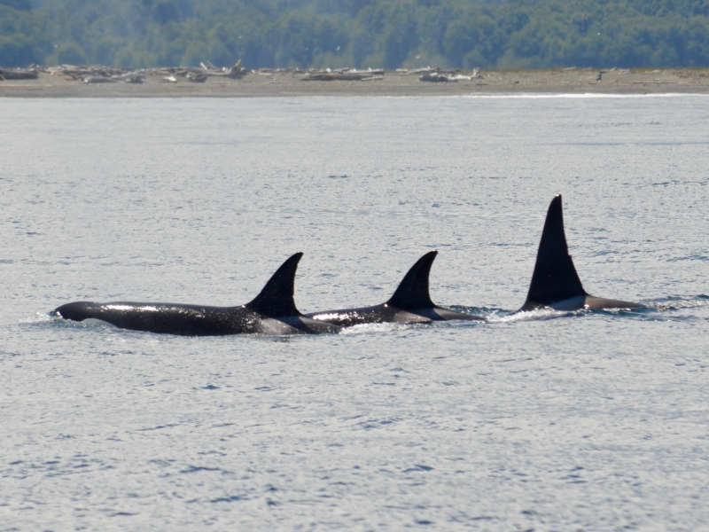 Small Transient Orca pod