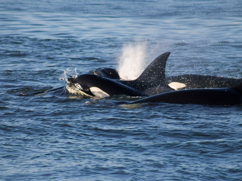 Family of orcas traveling together in Canada