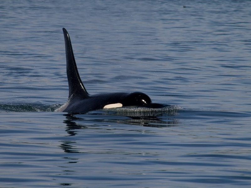 Southern Resident Male Orca Doublestuf
