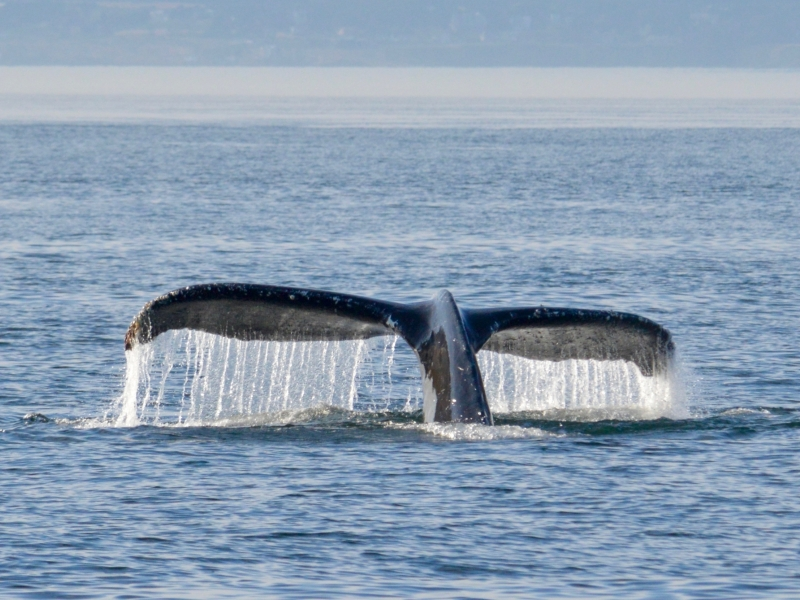 Hummpback whale tail at surface