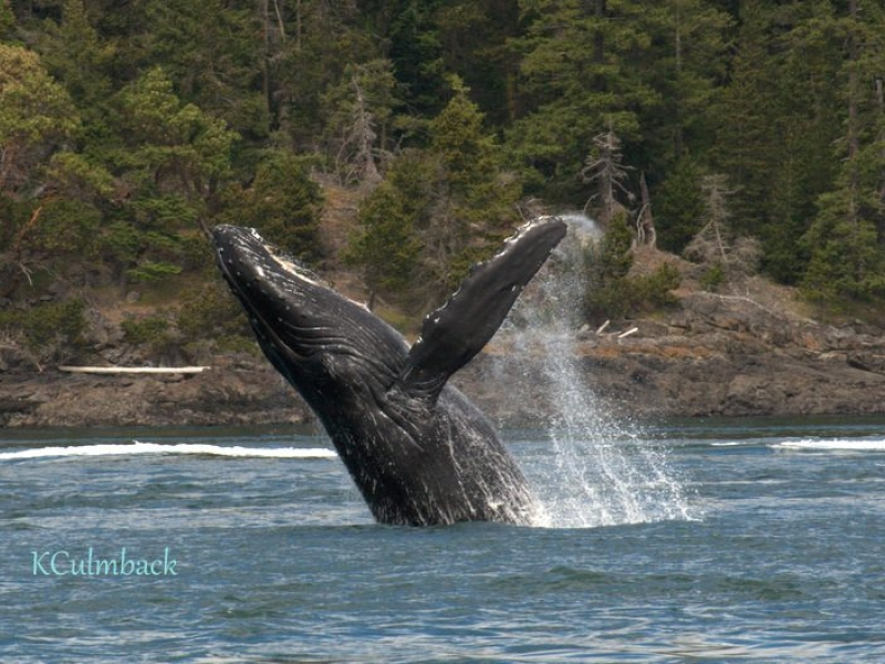 Humpback Whale breaches in San Juan Channel