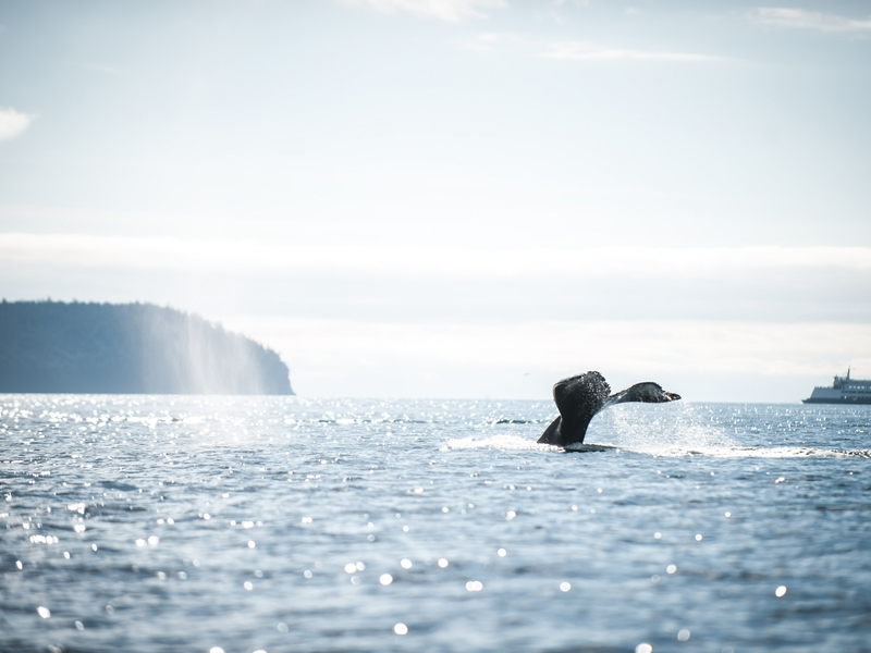 Humpback Whale tail in the Salish Sea - San Juan Outfitters Whale Watch Tour