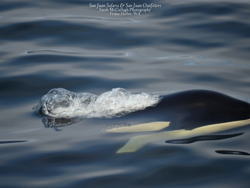 Surfacing orca seen on our San Juan whale watching tour, just 90 miles north of Seattle!