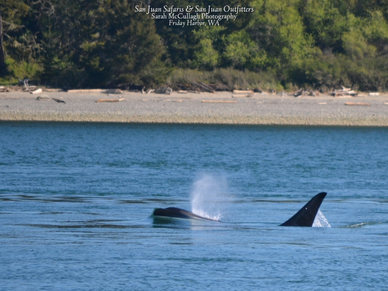 Transient orca in San Juan Channel