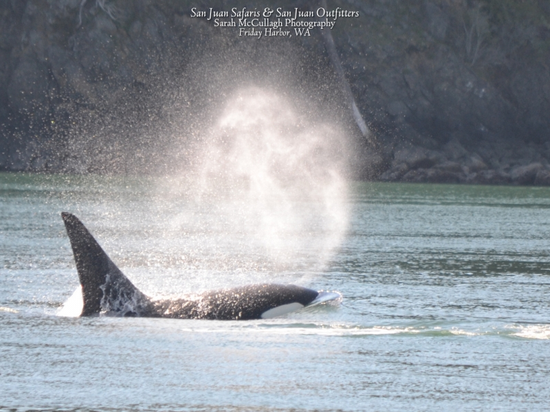 Male Transient orca