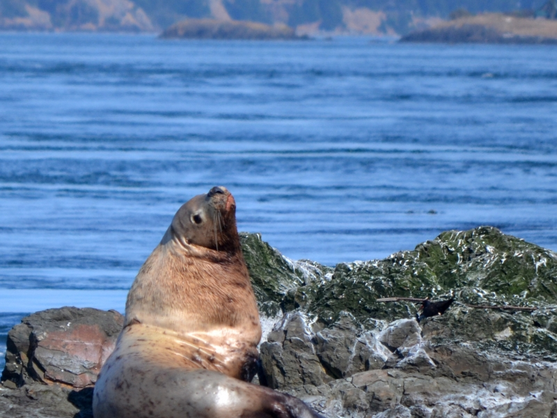 Stellar Sea lion resting in the sun