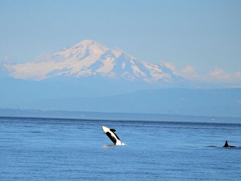 Orca Breach in front of Mt. Baker