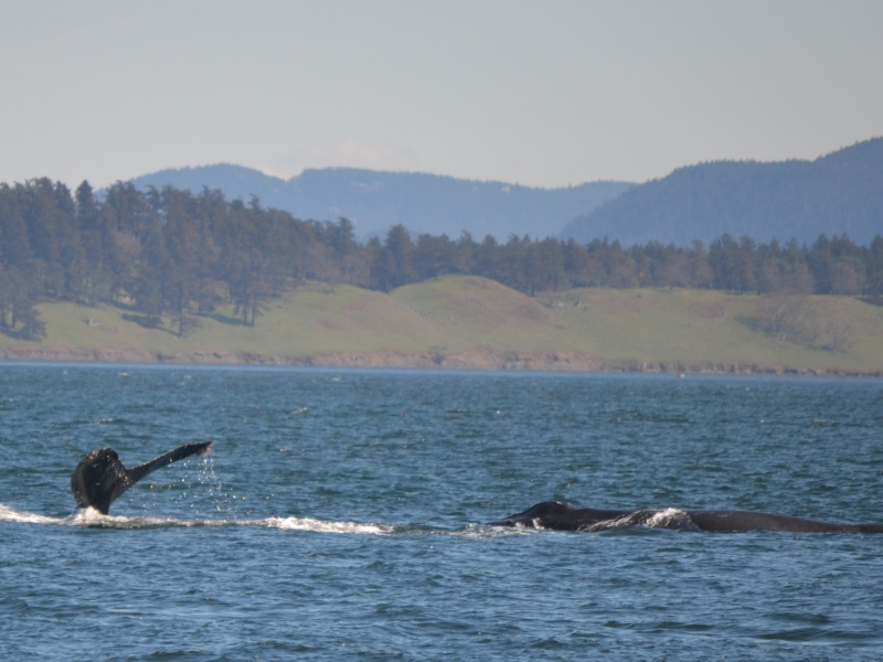 One humpback whale dives while the other surfaces