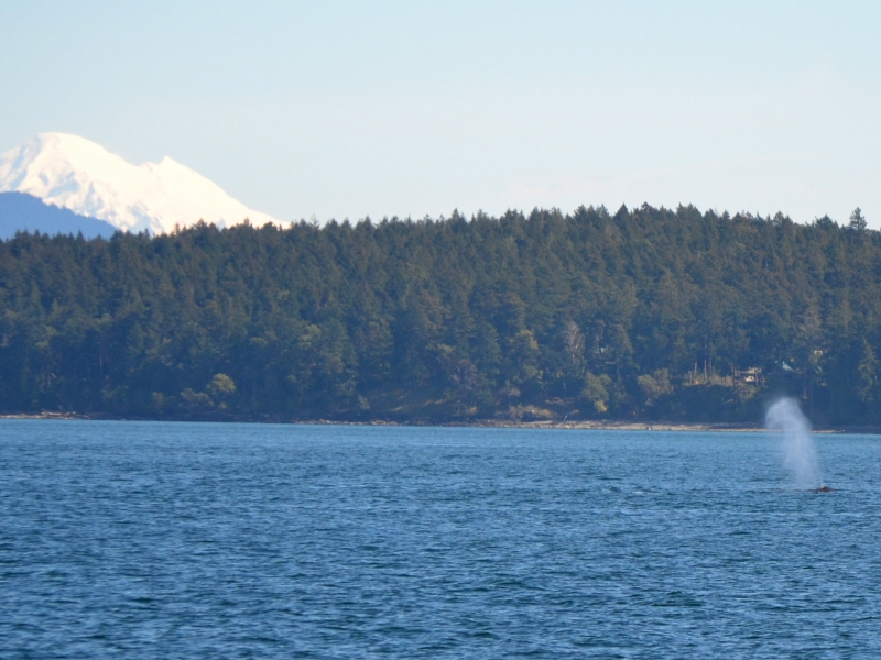 Mt. Baker in the background as a humpback whale surfaces