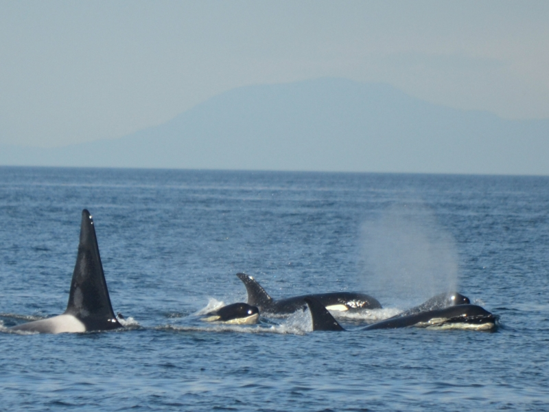 Transient orcas traveling in the Strait of Georgia