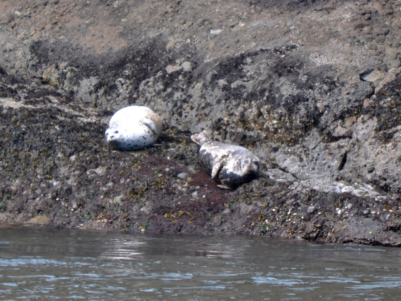 Harbor seals hauled out just above the water line