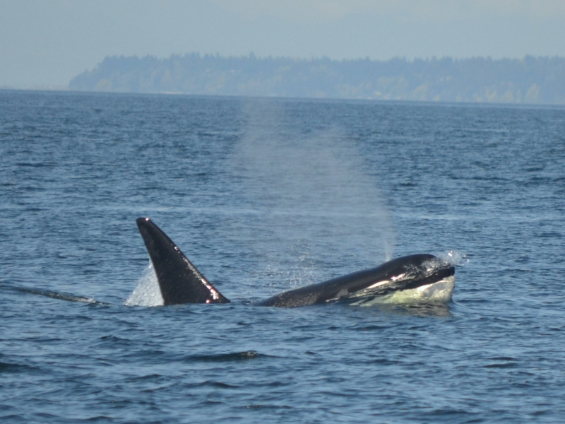 A Male Transient Killer Whale