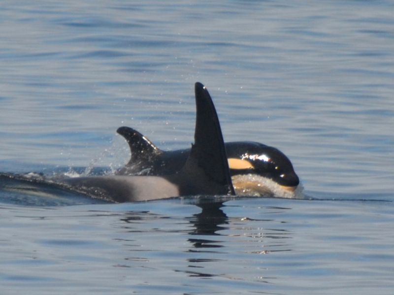 Baby Orca known as J54 was first spotted in December of 2015