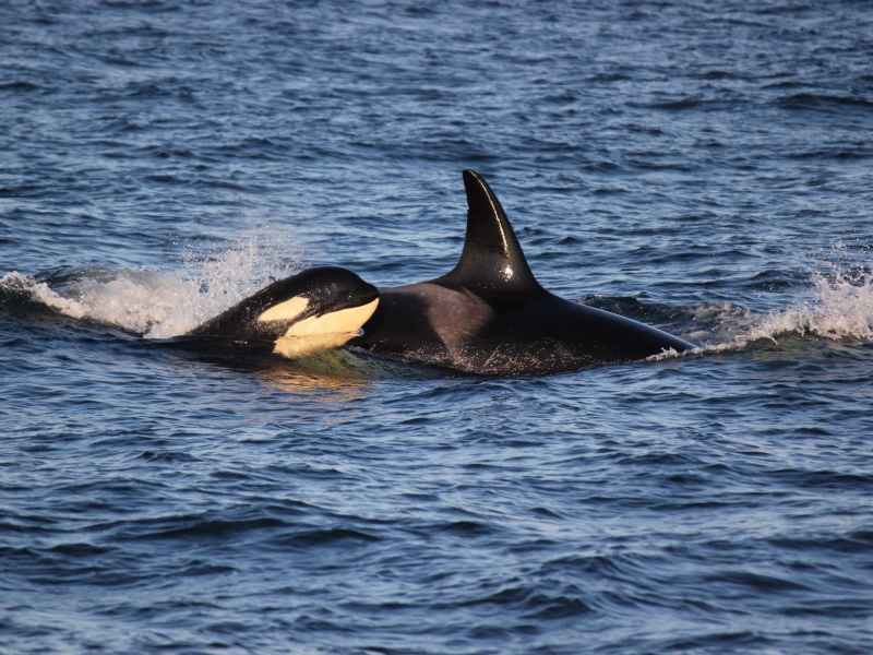baby killer whale traveling with mom