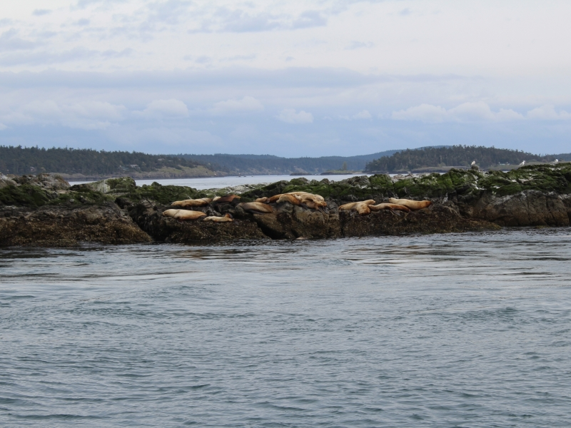 Steller Sea Lions and California Sea Lions near Friday Habor