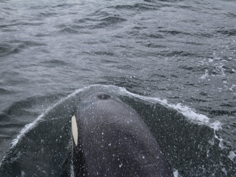 Transient Orca blowhole