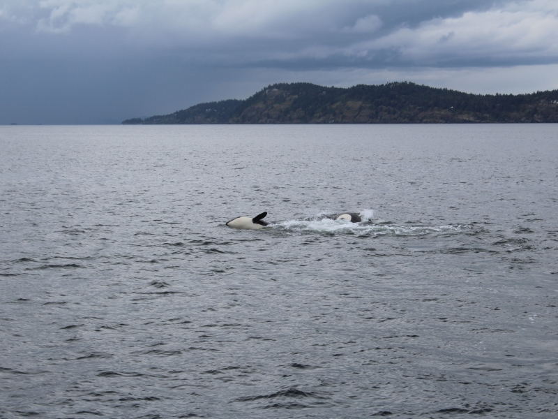 young Transient Orca