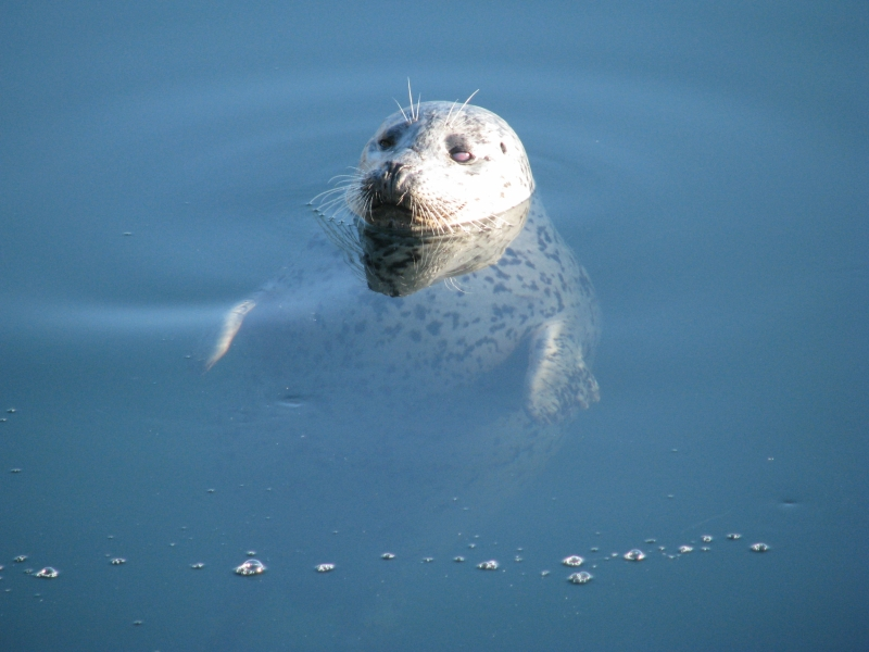 Harbor Seal swimming at the surface