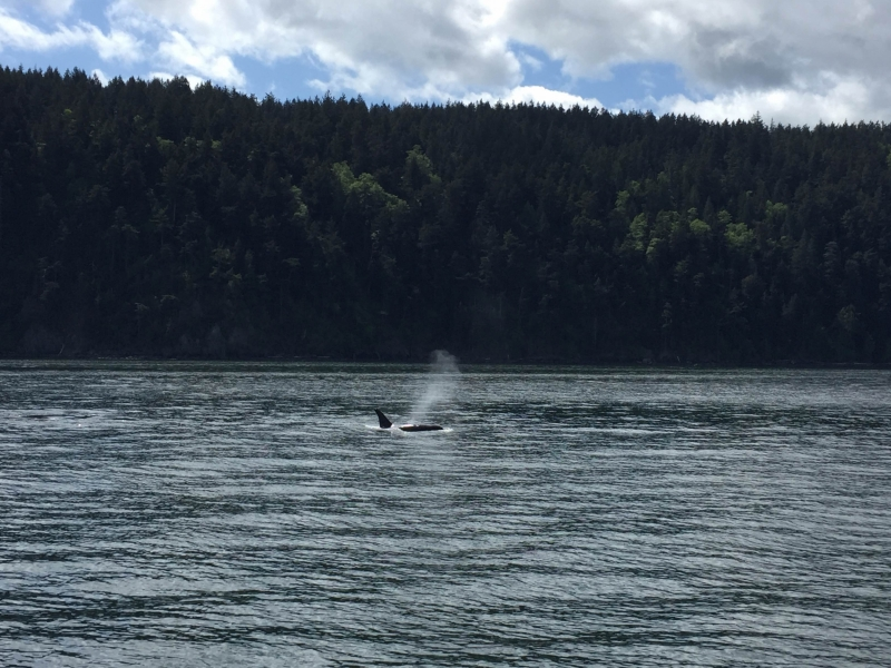 Transient Orca Breathing while hunting in Rosario Strait