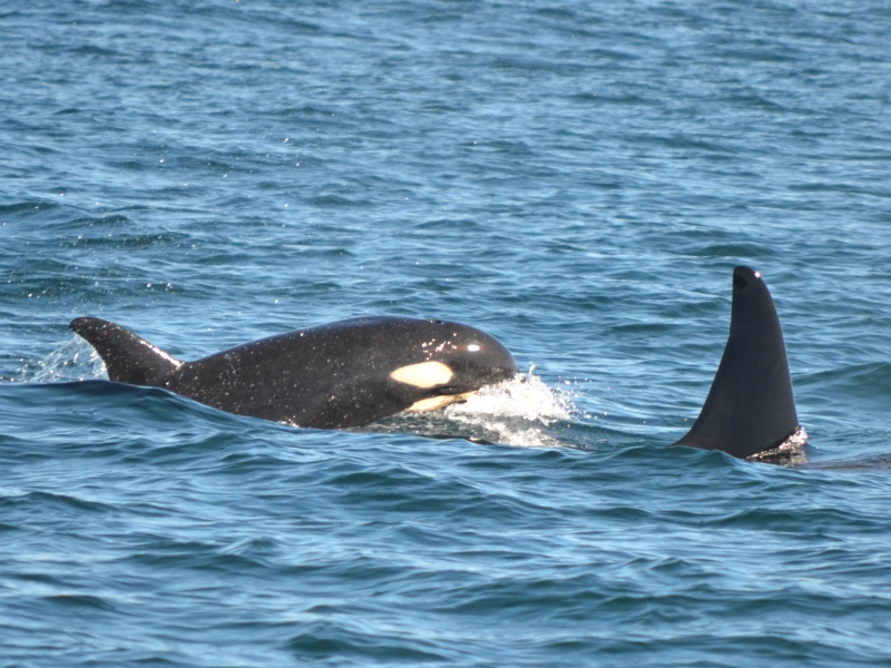 Calf L121 Windsong with mom L94 Calypso