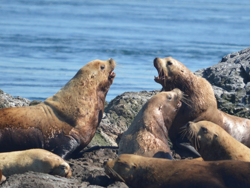 Male steller sea lions hauled out on rocks