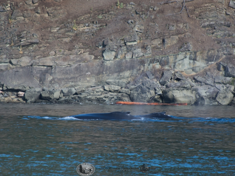 Group of humpback whales